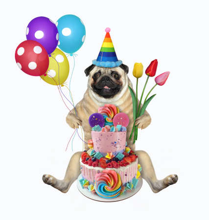 The pug dog in a birthday hat with colored balloons and flowers is sitting near a two tiered cake. White background. Isolated.