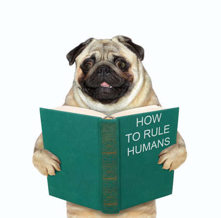 The pug dog is standing with a open green book called how to rule humans. White background. Isolated.