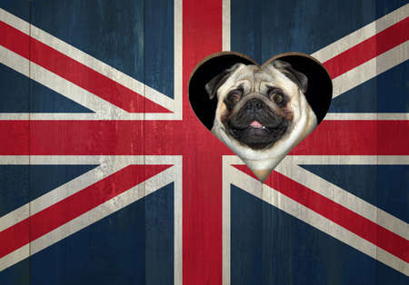 A pug dog looks through a heart shaped hole in the wooden fence painted like a flag of the UK.