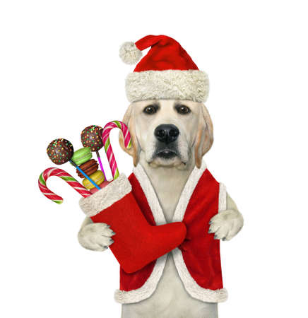 A dog in a Santa Claus clothing holds a Christmas boot full of sweets. White background. Isolated.