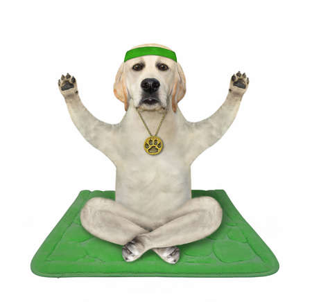 A dog in a sport headband is doing yoga exercises on a green fitness mat. White background. Isolated. Stock Photo
