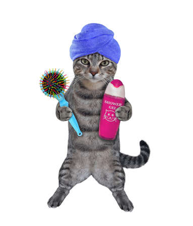 A gray cat with a blue towel around his head holds a hairbrush and shampoo after bath. White background. Isolated.