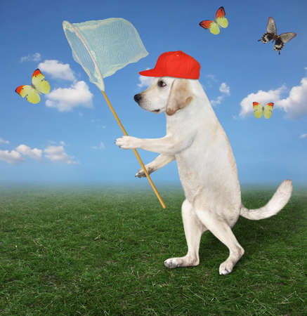 A dog in a red cap with a butterfly net is catching butterflies in the meadow.