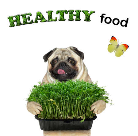 A dog pug holds a plastic microgreens box. Healthy food. White background. Isolated.