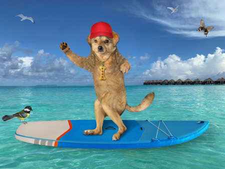 A beige dog surfer in a red cap stands on a surf board in the Maldives.