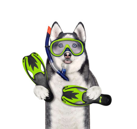 A dog husky diver with a mask, a snorkel and swimming fins. White background. Isolated. Stock Photo
