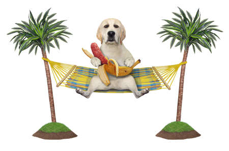 A dog labrador is resting and eating a banana sausage in a hammock between palm trees. White background. Isolated.