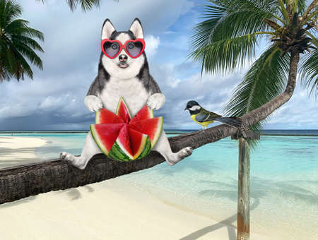 A dog husky in sunglasses with a slice of watermelon is sitting on a fallen palm tree in a beach of Maldives over the sea water.