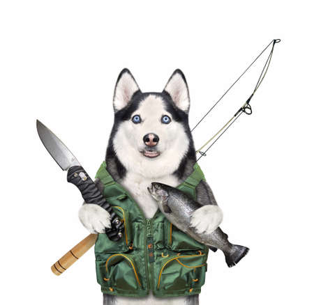 A dog husky fisher with a rod and a knife caught a gold fish. White background. Isolated. Stock Photo