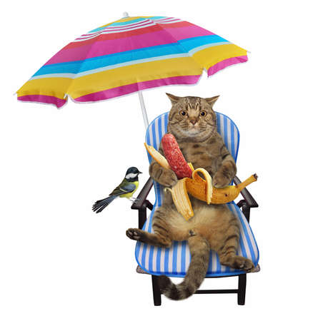 A beige cat on a beach chair is eating a banana sausage under an umbrella. White background. Isolated.