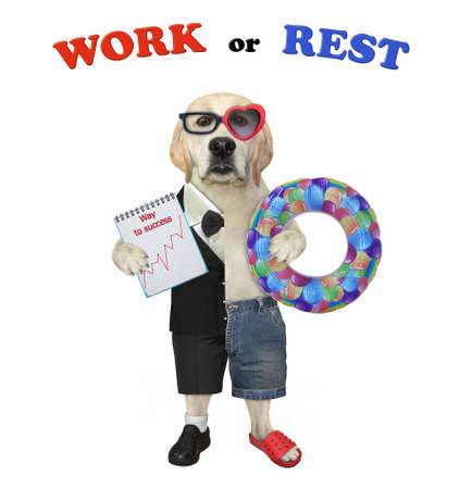 One half of a dog labrador in a suit holds a notepad with a chart and the other half in shorts holds a inflatable ring. White background. Isolated. Stock Photo