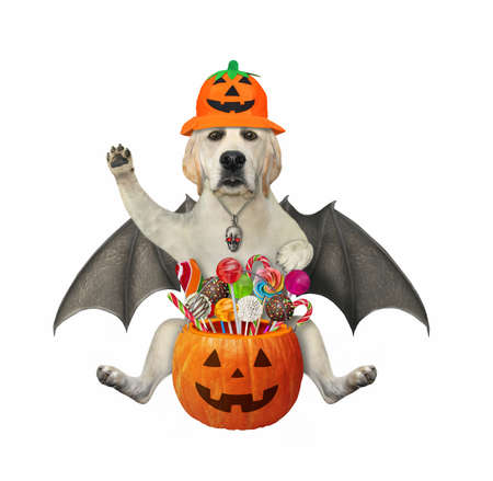 A dog labrador with bat wings in a holiday hat holds a pumpkin bucket with candies for Halloween. White background. Isolated.