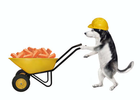 A dog husky builder in a construction helmet pushes a wheel barrow full of red bricks. White background. Isolated.