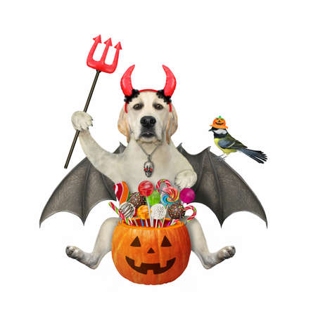 A dog labrador with bat wings and devil horns holds a pumpkin bucket with candies a trident for Halloween. White background. Isolated.