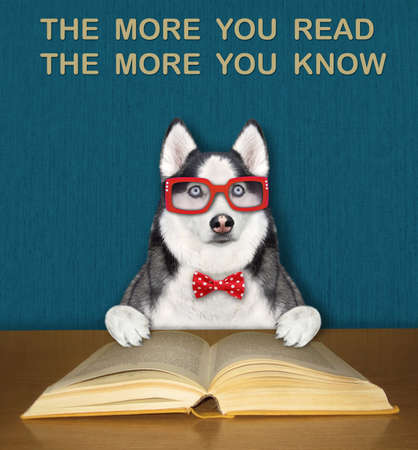 An intelligent dog husky in a bow tie and glasses reads an open book at the desk. Stock Photo