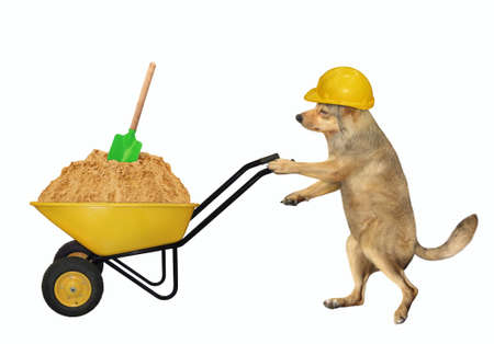 A beige dog builder in a construction helmet pushes a wheel barrow full of sand. White background. Isolated.
