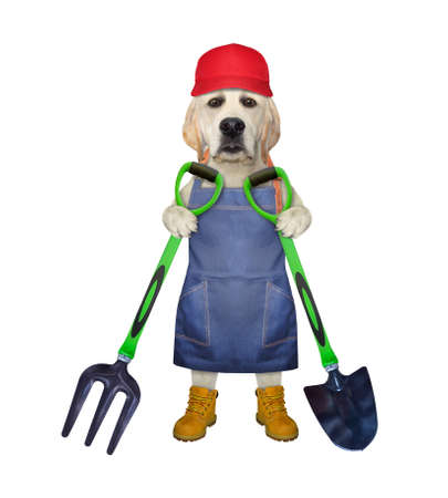 A dog labrador gardener in a blue apron, a red cap and boots holds a shovel and a garden pitchfork. White background. Isolated.