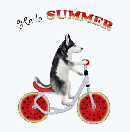 A dog husky is riding a watermelon bicycle. Hello summer. White background. Isolated.