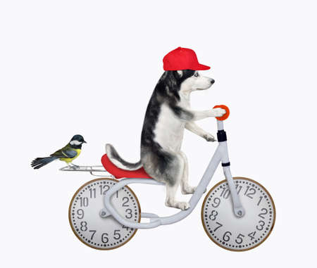 A dog husky in a red cap rides a bicycle with wheels look like a clock face dial. White background. Isolated. Stock Photo