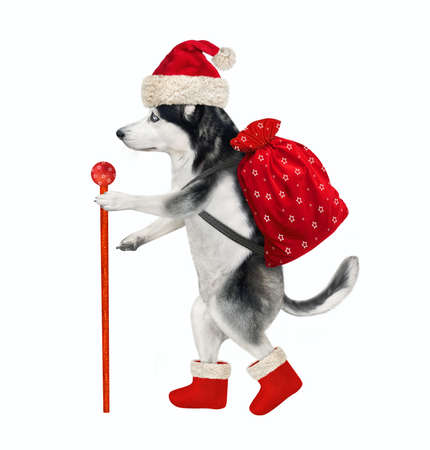 A dog husky in a Santa Claus clothing with a staff and a bag of Christmas gifts is walking. White background. Isolated. Stock Photo