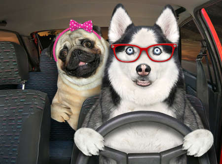 A dog husky in glasses with a pug is driving a auto on the highway at night.