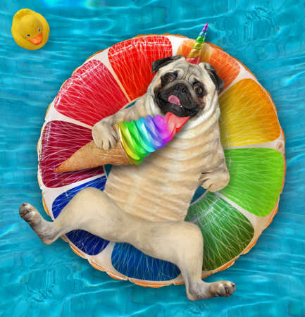 A dogicorn pug with a cone of ice cream is lying on an inflatable fruit in a swimming pool at the resort. Stock Photo