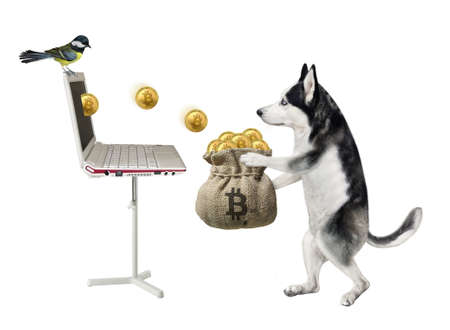 A dog husky in a red cap earns bitcoins using laptop and puts them into a burlap sack. White background. Isolated.