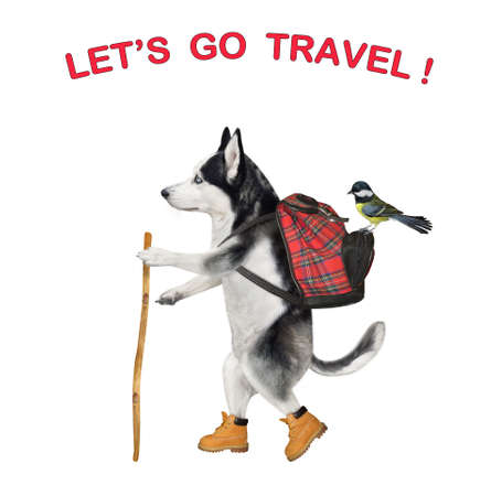 A dog husky tourist in boots with a backpack and a stick is hiking. Let's go travel. White background. Isolated.