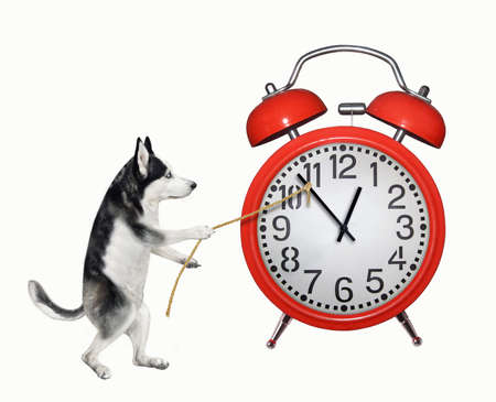 A dog husky is trying to stopp a red alarm clock with a rope. White background. Isolated.