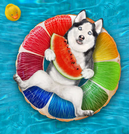 A dog husky with a slice of watermelon is lying on an inflatable fruit in a swimming pool at the resort. Stock Photo