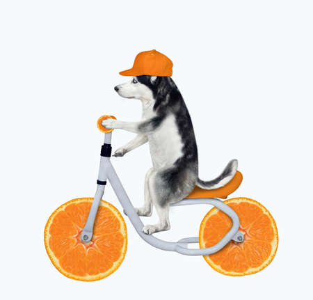 A dog husky in a cap is riding an orange bicycle. White background. Isolated. Stock Photo