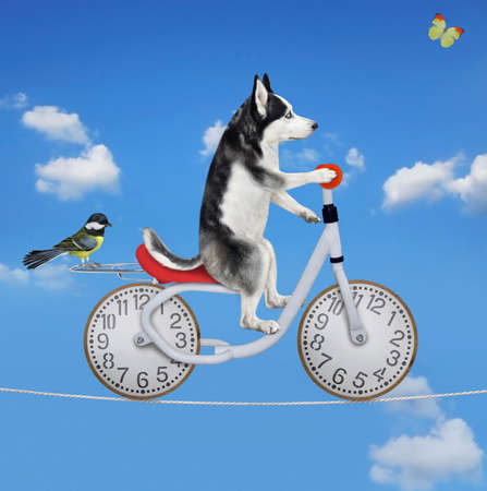 A dog husky acrobat is riding a bike on the tightrope. Blue sky background.
