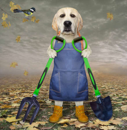 A dog labrador gardener in a blue apron and boots holds a shovel and a garden pitchfork in the autumn park.