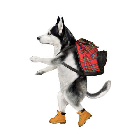 A dog husky tourist in boots with a backpack is hiking. White background. Isolated. Stock Photo