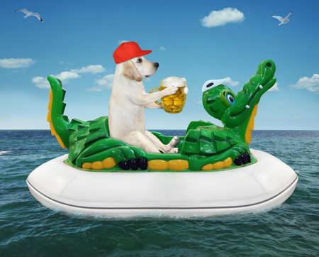 A dog labrador in a red cap with a mug of beer is floating on an inflatable crocodile in the sea at a resort. Stock Photo