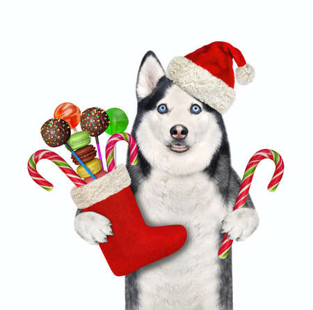 A dog husky in a Santa Claus red hat holds a Christmas boot full of sweets. White background. Isolated. Stock Photo