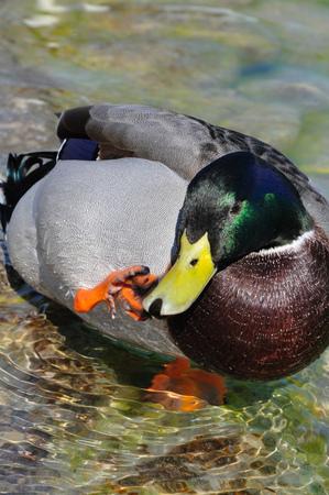 scratches: Mallard Ducks. Anas platyrhynchos. scratchind a beak Stock Photo