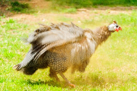 claen: guinea hen is dusting after it was cleaning feathers. Guinea fowl bird