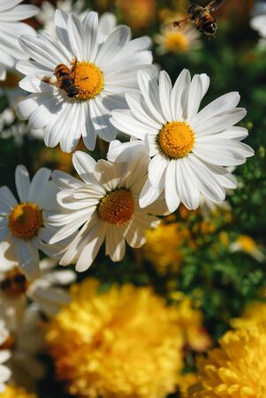 bee with white and yellow daisy