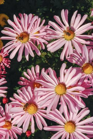 pink daisies with three bees in the yellow heart Imagens