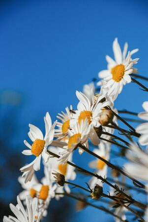Diagonal bouquet of white daisies against a blue sky Imagens