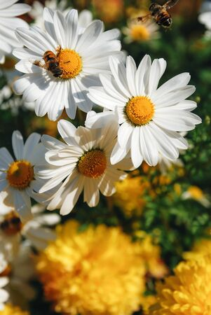 Three white daisy flowers on a sunny blooming filed with bee in the yellow heart