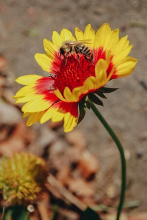 Red-yellow daisy flower (Gaillardia pulchella or Indian blanket) with bumblebee in the red heart