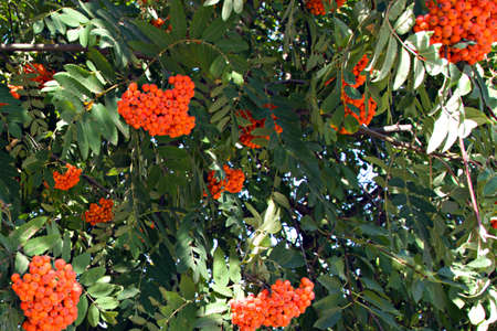 rowan berries ripen on green branches