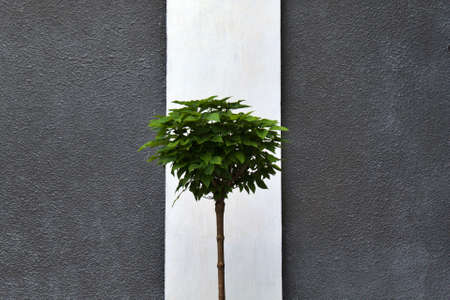 green crown of young tree on blurred background of gray-white wall 版權商用圖片