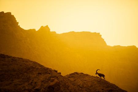 mountain goat: Mountain goat in wild nature landscape