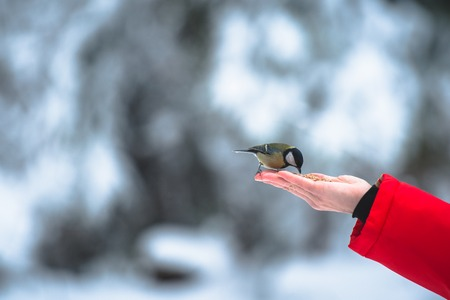 eats: The titmouse eats nuts from a palm at winter Stock Photo
