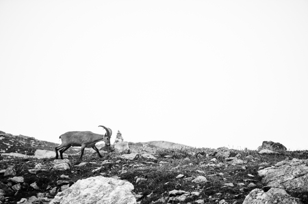 rocky mountain bighorn sheep: a mountain goat looks at the landscape, Arkhyz, Russia