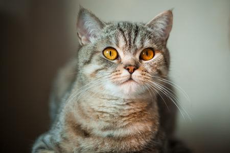 테이블에 누워 노란 눈을 가진 영국 쇼트 헤어 고양이. 스톡 콘텐츠