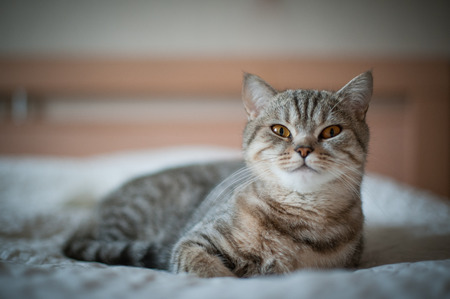 British Shorthair cat with yellow eyes lying on the bed.